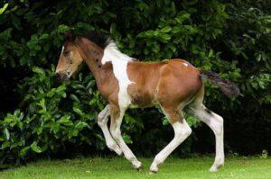 "keiba 1470809242 101 300x199 - 英国で「背中に白い馬の模様」をもつ""栗毛の仔馬""が誕生"