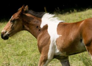 "keiba 1470809242 102 300x214 - 英国で「背中に白い馬の模様」をもつ""栗毛の仔馬""が誕生"
